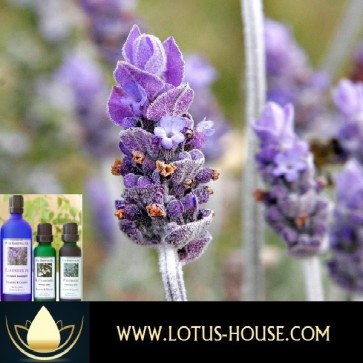 Lavender Maillette - Certified Organic 100% Essential Oil