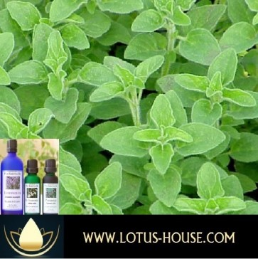 Oregano - Certified Organic 100% Essential Oil @ Lotus House