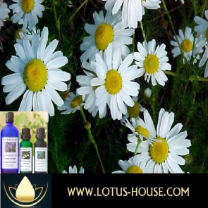 Chamomile German - Certified Organic 100% Essential Oil