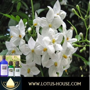Jasmine Abs 10% Essential Oil @ Lotus House