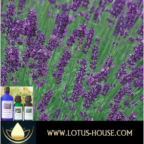 Lavender Provence Abs 10% Essential Oil @ Lotus House