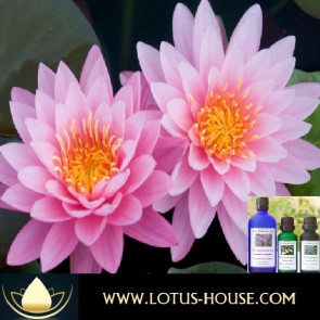 Pink Lotus 10% - Essential Oil - ON SALE NOW @ Lotus House
