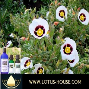 Labdanum 10% - Essential Oil @ Lotus House